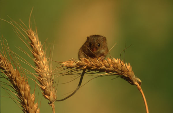 Harvest mouse on ear or wheat.